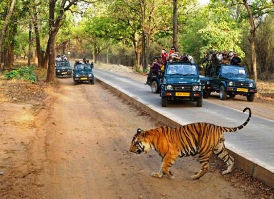 सैलानियों ने बाँधवगढ़ में रात को देखी जंगल की खूबसूरती,नाइट सफारी हुई शुरू