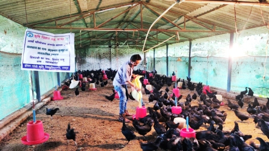 कडकनाथ ने बढ़ाई इंजीनियर हिमांशु की आमदनी,युवा किसानों के लिए बने प्रेणास्त्रोत
