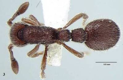 भारत में दुर्लभ चीटी वंश की दो नई प्रजातियों की खोज की गई