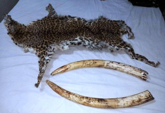 ओडिशा के केओन्झार जिले में हाथी की दांत व् तेंदुए की खाल के साथ तीन गिरफ्तार