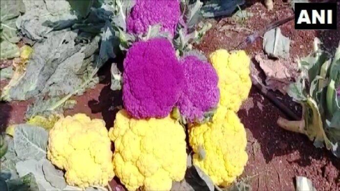 इस राज्य में उग रहे है बैगनी और एकदम पीलारंग के फूलगोभी-जानिए इसके बारे में
