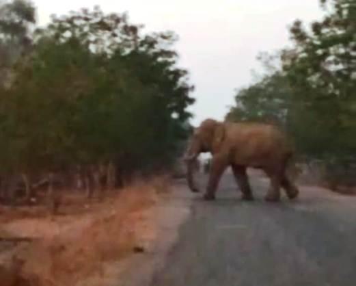 नगर पंचायत तुमगांव के दो वार्डो में सिरपुर क्षेत्र के हाथियों ने किया भ्रमण
